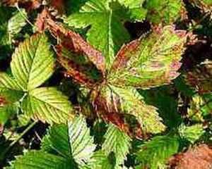 Бурая пятнисттость листьев земляники