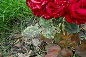 Пятнистость цветов
