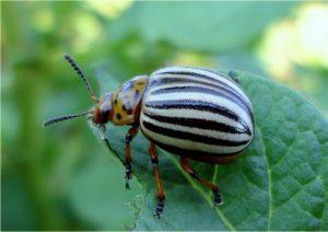 Колорадский жук на картошке