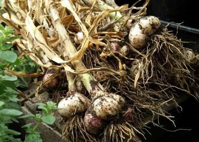 Озимый чеснок выращивание