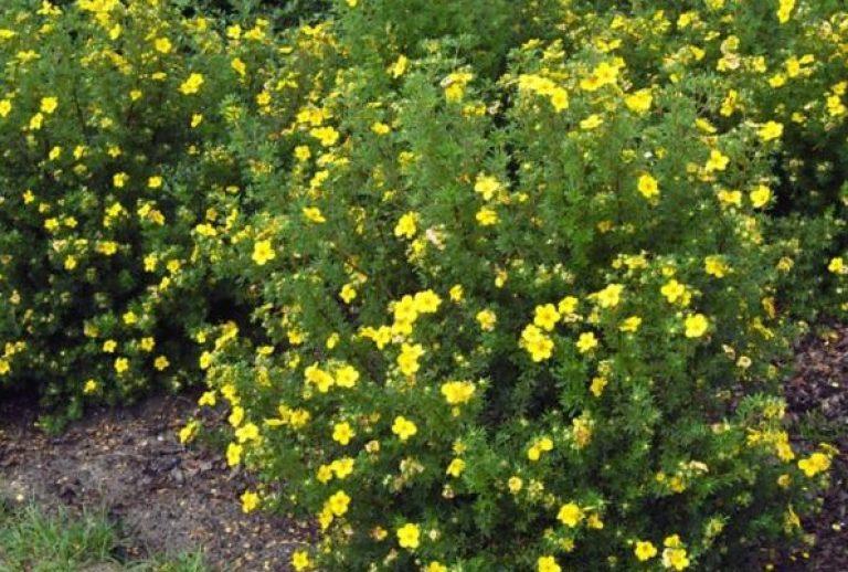 Курильский чай агротехника выращивания 48