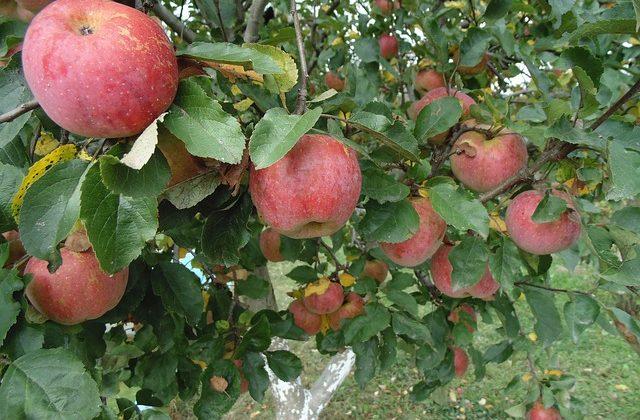 Уход за плодоносящим садом