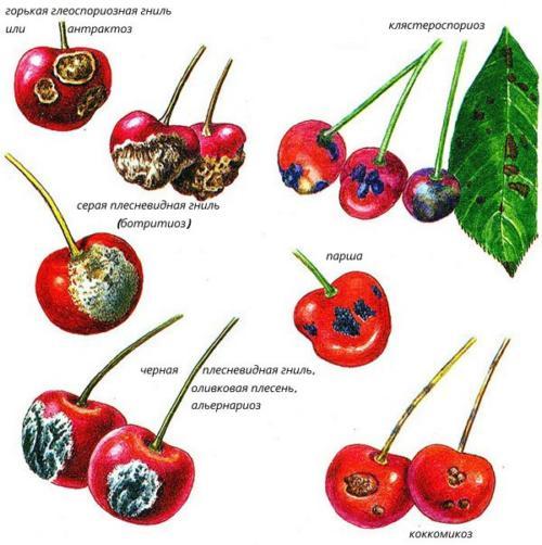 Основные болезни вишни