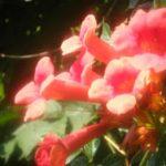 Цветок кампсиса