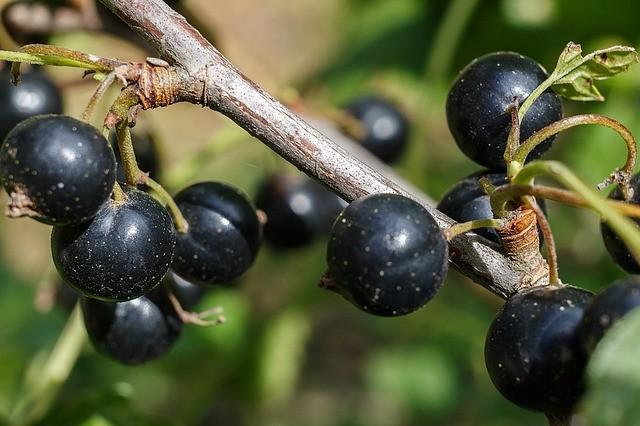 Черная смородина, выращивание