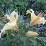 Лилия трубчатая желтая
