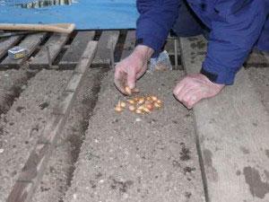 Выращивание лука севком