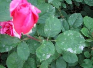 Мучнистая роса цветов