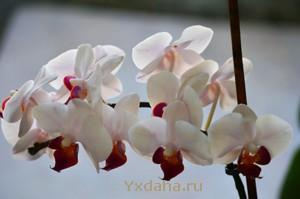 Моя орхидея