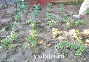 Кусты помидор перед окучиванием