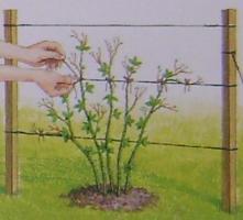 Ежевика когда сажать весной