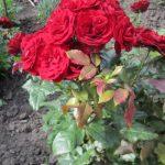 Куст красной розы