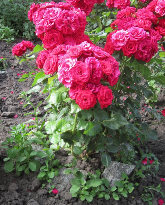 Розы кустовые уход и выращивание 92