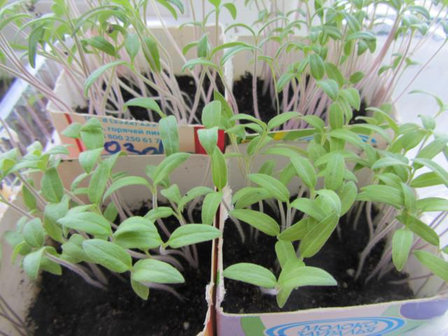 Всходы томатов