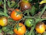 фитофтороз томатов