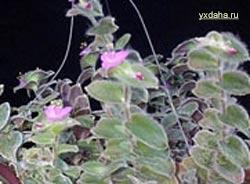 Традесканция волосатая (T. pilosa)