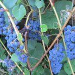 Виноград Изобелла