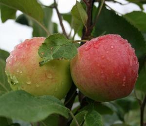 Пирамидальная яблоня
