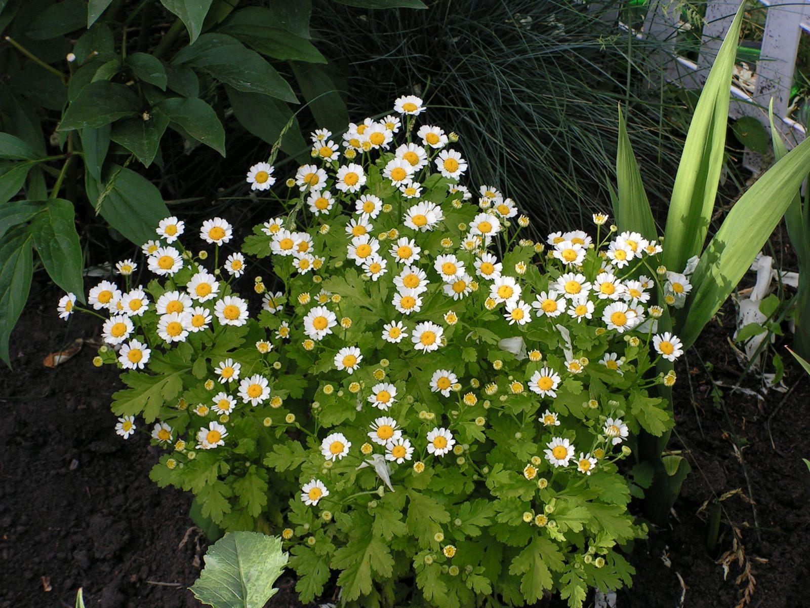 Фото цветка матрикария 187