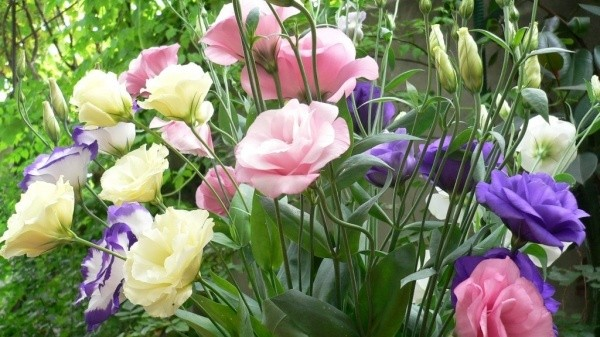 Эустома - секреты выращивания