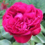 Роза Кубанская розовая