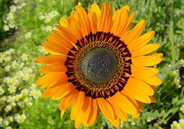 Венедиум - цветы африки