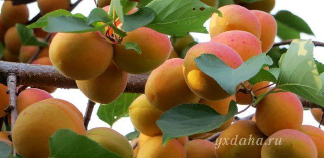 Созревшие абрикосы