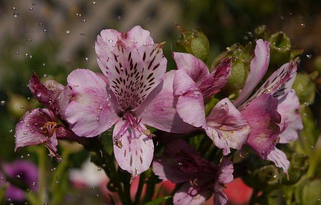 Альстромерия в саду