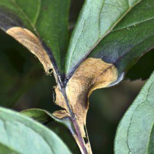 Ржавчина листьев пионов