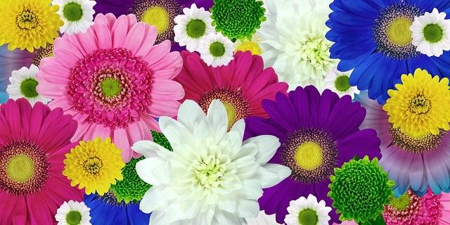 Хризантема - цветок для дачи