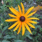 Цветок желтой эхинацеи