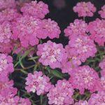 Розовый иберис