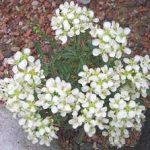 Белый иберис