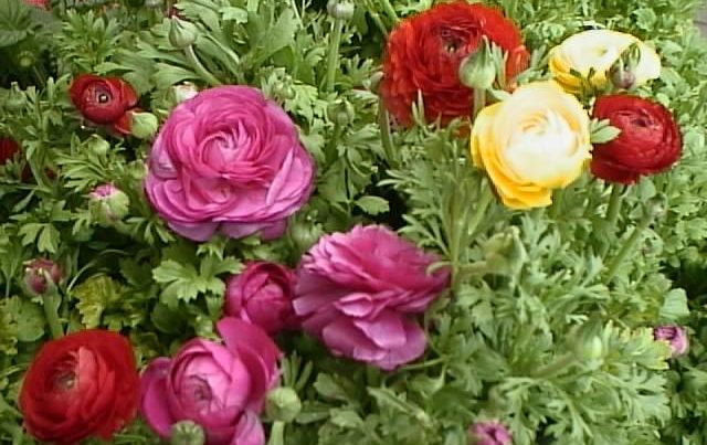 Ранункулюс садовый лютик, выращивание, уход, фото 62