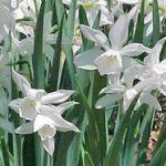 Нарциссы Триандрусовые