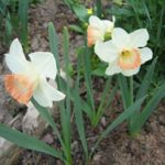 Нарциссы крупнокорончатые
