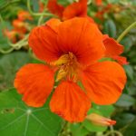 Цветок настурции
