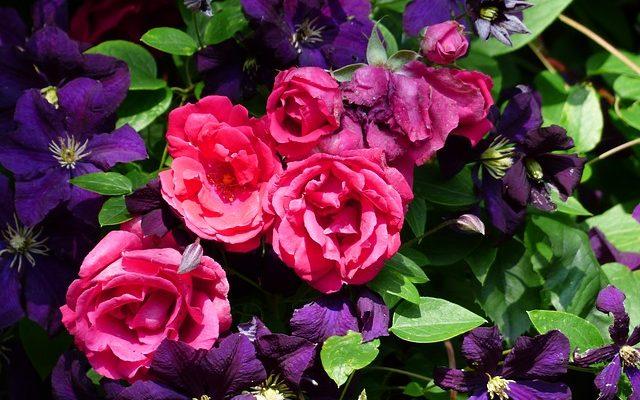 Роза с клематисом