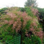 Цветущий тамариск