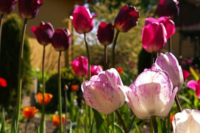 Цветение тюльпанов в мае