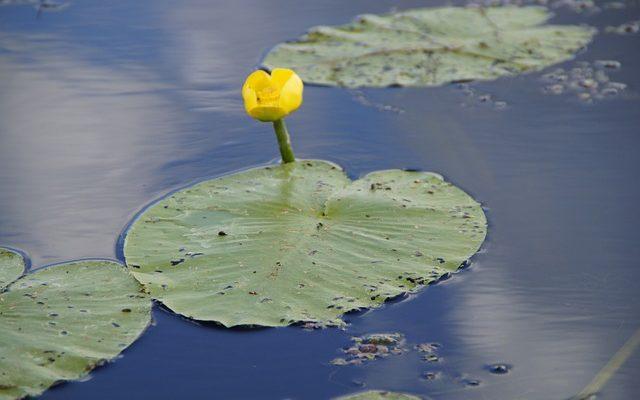 Кубышка желтая для водоема