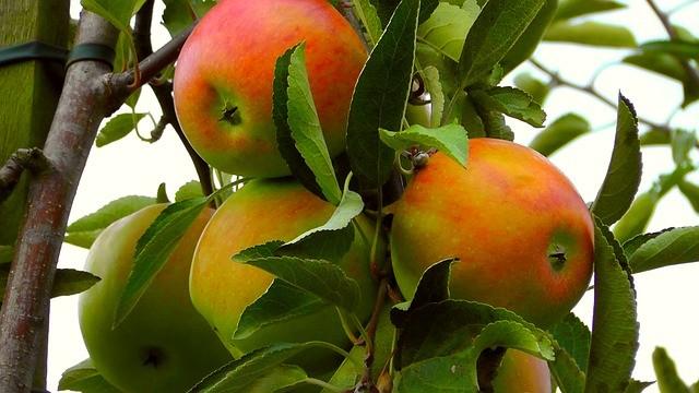 Как ускорить плодоношение яблонь