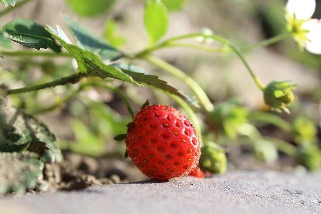 Вырастить землянику в саду