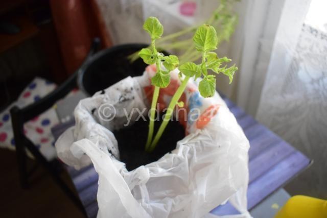 Картофельная зелень