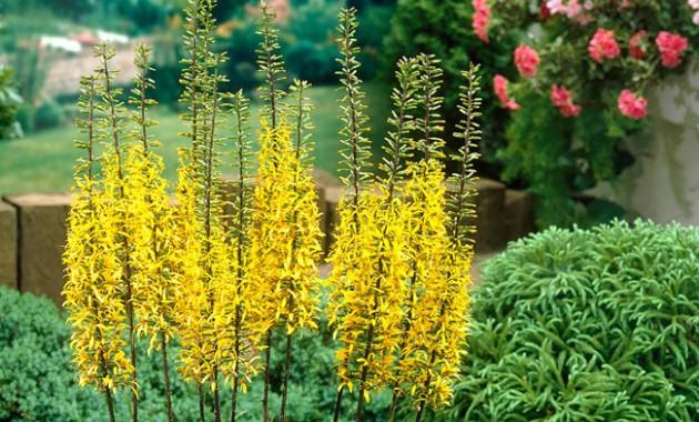 Цветы бузульника
