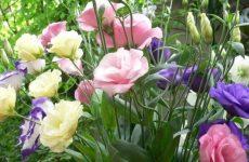 Эустома – секреты выращивания