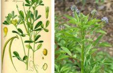 Выращивание Желтого чая на даче