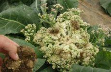 Болезни цветной капусты