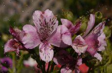 Альстромерия — «перуанская лилия» в саду
