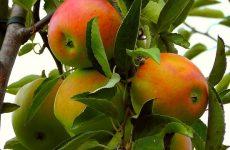 Как ускорить плодоношение яблонь и груши
